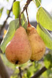 Sweet pear on a tree Stock Images