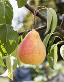 Sweet pear on a tree stock photo
