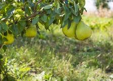 Sweet pears. Sweet bio pears in the garden Stock Image
