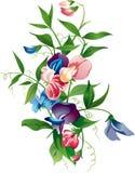Sweet peas. Vector illustration of a flowering sweet peas Royalty Free Stock Photo