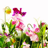 Sweet peas flowers Stock Images