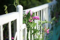 Sweet peas. Fragrant sweet peas on the fence Stock Images