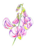 Sweet Peas (lathyrus) Stock Photos