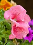 Sweet Peas. Pink Sweet Peas in the garden Stock Photography