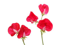 Sweet peas Stock Photography