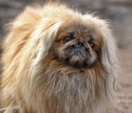 Sweet pekingese dog. Stock Photos