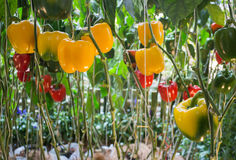Sweet Pepper, Bell Pepper or Capcicum plant display in food fest Stock Images