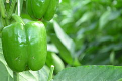Sweet pepper chile plant Stock Photos