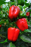 Sweet pepper, cooking raw material. Lot of red sweet pepper, cooking raw material still on plant stock image