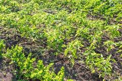 Sweet Pepper Crop Stock Image