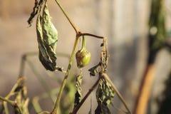 Pepper disease viral. Sweet pepper disease viral. GMO danger Royalty Free Stock Photography