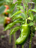 Sweet pepper in garden Royalty Free Stock Images