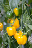 Sweet pepper. The Sweet pepper in greenhouse Stock Photo