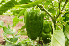 Sweet pepper grows on a bush Royalty Free Stock Photo