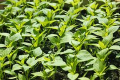 Sweet pepper seedling rows before planting Stock Image