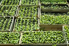 Sweet pepper seedlings sown in the wooden boxes Royalty Free Stock Image