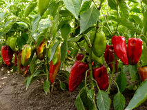 Sweet peppers bed Stock Photography