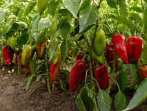 Sweet peppers bed Stock Photos