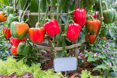 Sweet Peppers (Bell Peppers). In garden Royalty Free Stock Images
