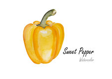 Sweet peppers yellow .Hand drawn watercolor painting on white background.Vector illustration Royalty Free Stock Photography