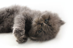 Sweet persian kitten Royalty Free Stock Image