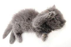 Sweet persian kitten Stock Image
