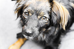 Sweet pet dog. A sweet and adorable mutt Royalty Free Stock Photography