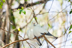 Sweet Pied imperial pigeon bird Royalty Free Stock Photos