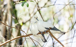 Sweet Pied imperial pigeon bird sleep together Stock Images