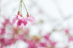 Sweet pink cherry blossom flower in Alishan Stock Images