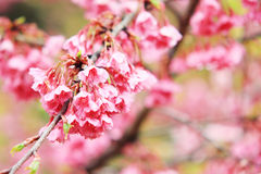 Sweet Pink cherry blossom Stock Images