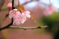 Sweet pink cherry blossoms in the forest royalty free stock images