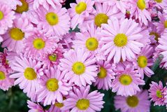 Sweet pink chrysanthemums. Stock Photo