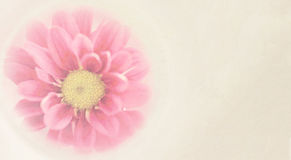 Sweet pink chrysanthemums flowers in soft and blurred style Royalty Free Stock Photos