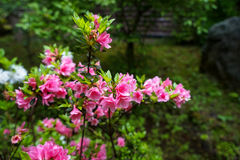 Sweet pink color Rhododendron flower blooming with light green leaves and blurred garden background in Kurokawa onsen town Royalty Free Stock Photo