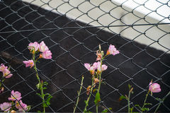 Sweet pink color roadside flowers growing at chain link fence. Kumamoto, Japan Stock Photo