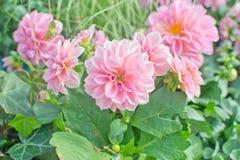Sweet pink Dahlia flowers Stock Photo