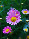 Sweet pink daisies. With yellow core Royalty Free Stock Photo