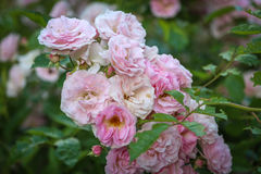 Sweet pink flower Royalty Free Stock Photo