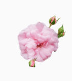 Sweet pink flower. And blooming on white background Royalty Free Stock Photo