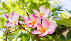 Sweet pink flower plumeria bunch and natural background. Beautiful sweet pink flower plumeria bunch in home garden with happy morning mood and natural background stock images
