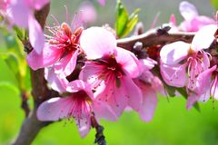 Sweet pink flowers blooming peach in the spring garden. Blossomi. Ng fruit tree Royalty Free Stock Images