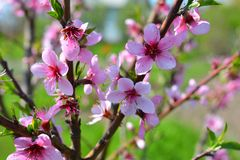 Sweet pink flowers blooming peach in the spring garden. Blossomi. Ng fruit tree Stock Images