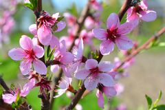 Sweet pink flowers blooming peach in the spring garden. Blossomi. Ng fruit tree Stock Image