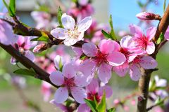 Sweet pink flowers blooming peach in the spring garden. Blossomi. Ng fruit tree Royalty Free Stock Image