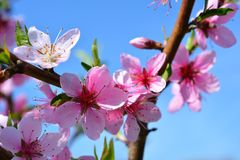 Sweet pink flowers blooming peach in the spring garden. Blossomi. Ng fruit tree Royalty Free Stock Photo