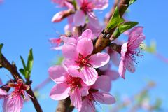 Sweet pink flowers blooming peach in the spring garden. Blossomi. Ng fruit tree Stock Photography