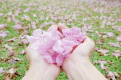 Soft and Sweet pink flowers in lady hands. Delicated Pink flowers for you Stock Photography