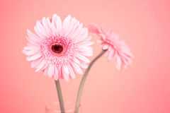 Sweet pink  Gerbera flower, romantic moment Royalty Free Stock Photo