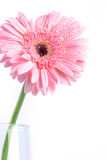 Sweet pink  Gerbera flower with water droplet, romantic and fre Royalty Free Stock Photos